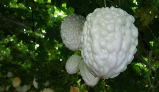 【伝説】巨大白ゴーヤ、アップルゴーヤをつくる岡村農園は夏なのにクリスマス気分を味わえる。